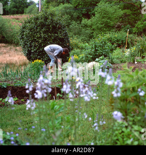 Man bending over working in his rural garden in summer sowing seeds with blue veronica flowers blooming in Carmarthenshire - Stock Photo