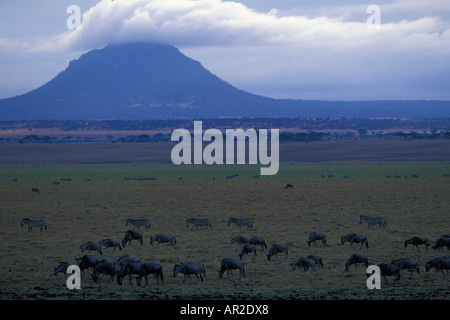 Africa Tanzania Tarangire National Park Plains Zebra and Wildebeest herds gather at edge of Silale Swamp in early - Stock Photo