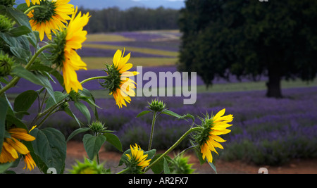 Sunflowers in lavender field, Tasmania - Stock Photo