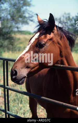Horse in pasture leaning over gate. Thoroughbreed Flies irritating the horse's eyes. - Stock Photo