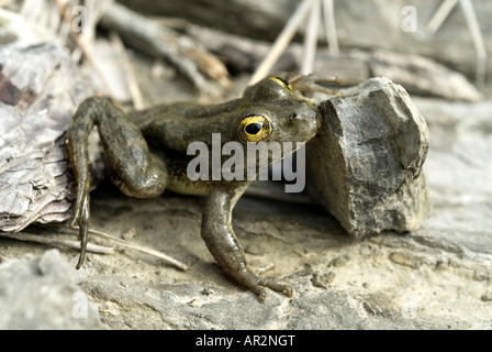 Karpathos waterfrog (Rana cerigensis), endemic, Greece, Krpathos - Stock Photo