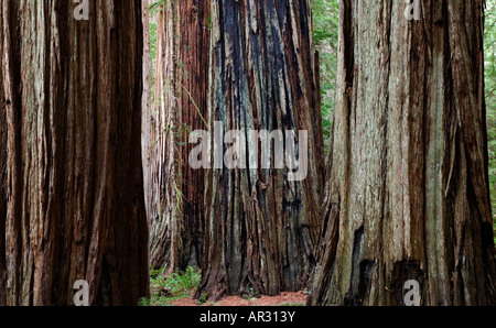 redwood trees in Stout Grove, Jedediah Smith Redwoods State Park, California, United States - Stock Photo
