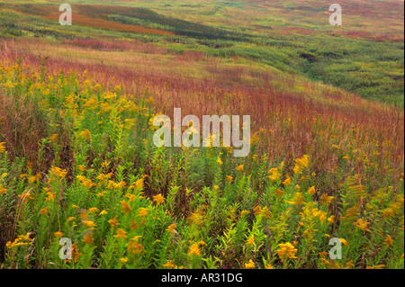stiff goldenrod and other native plants, Fen Valley, Clay County, Iowa USA - Stock Photo