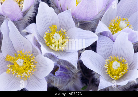 pasque flower (Pulsatilla patens), Frenchmen's Bluff Scientific Natural Area, The Nature Conservancy, Minnesota - Stock Photo