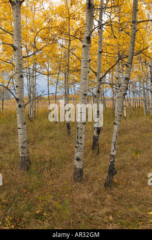 bigtooth aspen (Populus grandidentata) savanna, Caribou State Wildlife Management Area, Minnesota USA - Stock Photo