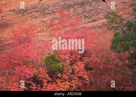 Autumn colors Zion National Park Utah - Stock Photo