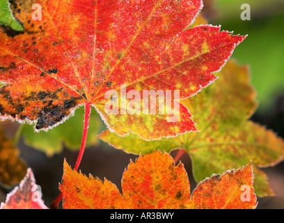 Frost on vine maple leaves - Stock Photo