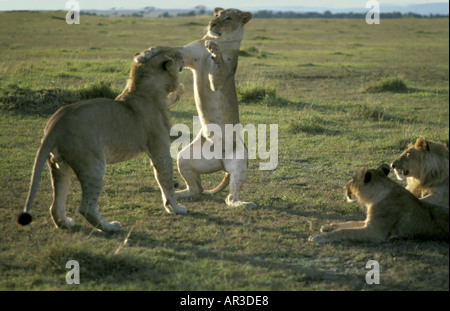 Young lioness standing on her hind legs and patting her front paws on the head of a young male lion as they play - Stock Photo