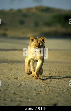 Mature lioness charging towards the camera Kalahari Gemsbok National Park South Africa - Stock Photo
