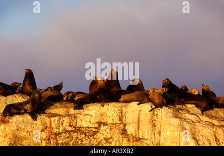 California Fur Seals on Seal Rock - Stock Photo