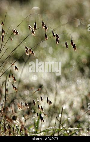 Wild oat Avena fatua seeding - Stock Photo