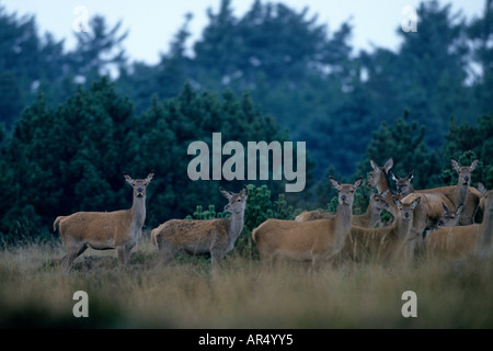 Rottiere und Kaelber Red Deers and Calfs Cervus elaphus Jylland Danmark Daenemark - Stock Photo