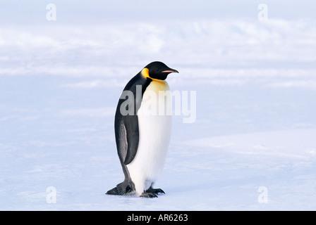 Emperor Penguin Aptenodytes forsteri Weddell Sea Antarctica November - Stock Photo