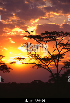 Maribou stork (Leptoptilos crumeniferus) in Acacia Tree at Sunset in the Serengeti National Park, Tanzania, Africa - Stock Photo