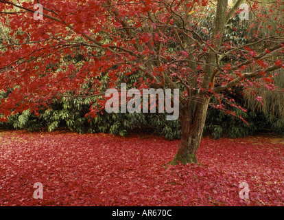 An Acer palmatum has shed most of its red leaves to create a thick carpet on the ground at Sheffield Park - Stock Photo