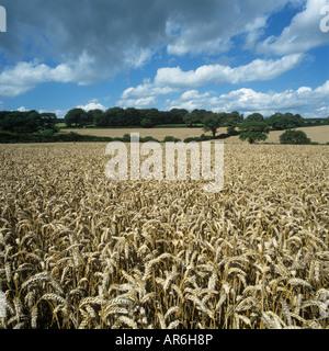 View over ripe wheat crop on fine summer day in Devon - Stock Photo