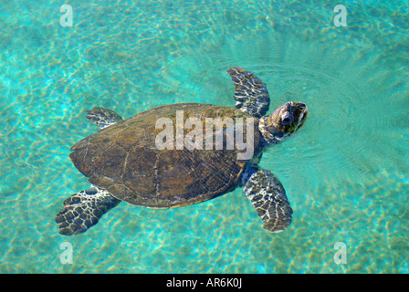 Green Turtle in pool, Coral World Underwater Observatory and Aquarium, Eilat, South District, Israel - Stock Photo