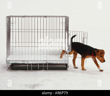 Black and brown puppy stepping out of wire puppy crate, tail in air, side view. - Stock Photo