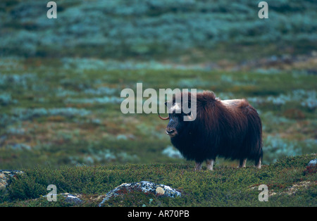 Muskbox Cow Moschusochsenweibchen Ovibos moschatus Dovre Fjell Nationalpark Norwegen Norway - Stock Photo