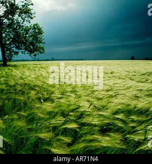 GB WILTSHIRE STORMY SKY BARLEY FIELD SALISBURY - Stock Photo