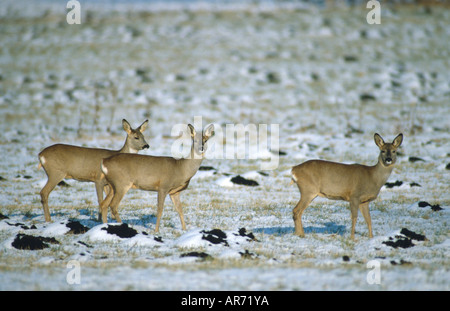 Rehe, Capreolus capreolus, Roe deer, Europe - Stock Photo