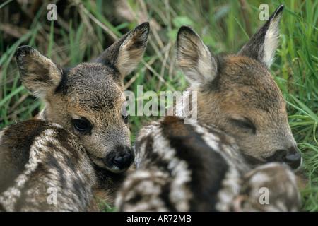 Rehkitze Roe Deer fawn Capreolus capreolus Authentic wild Schleswig Holstein Deutschland Germany - Stock Photo