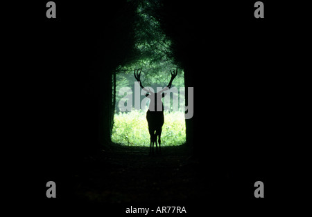 Rothirsch, Cervus elaphus, Red deer, Europe - Stock Photo