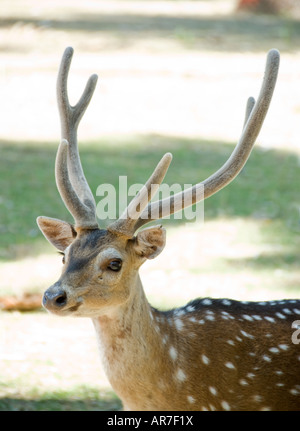 Spotted Deer in India - Stock Photo