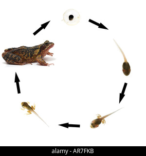 Common frog lifecycle sequence showing development from frogspawn via tadpole to adult frog Rana temporaria - Stock Photo