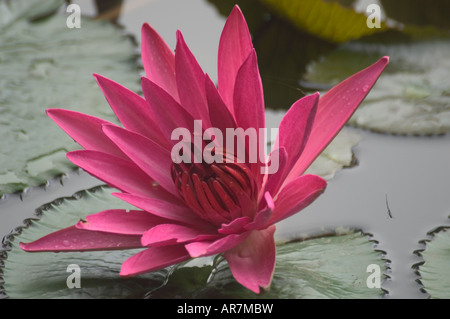 Pink Nymphaea water lily blooming in late November Luang Prabang Laos - Stock Photo