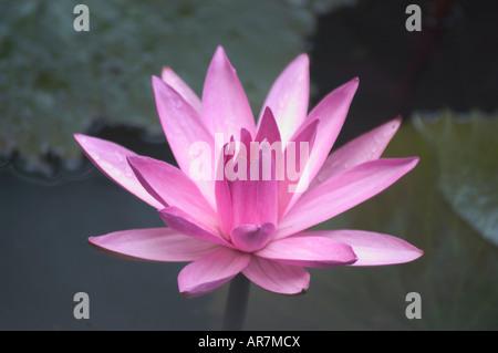 Pink Nymphaea water lily blooming in late November Luang Prabang Laos - Stock Photo
