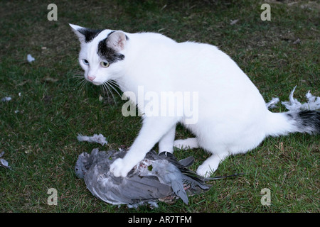 Young black and white cat with a pigeon she's just killed. - Stock Photo