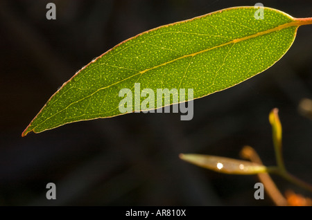 back lit Eucalyptus Gum leaf showing viens - Stock Photo