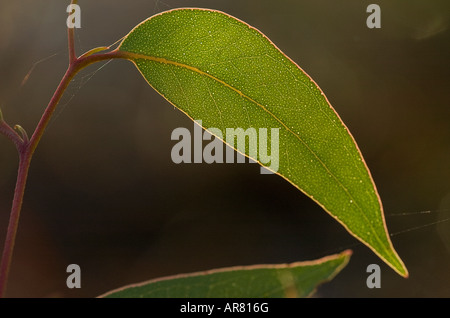 back lit Eucalyptus Gum leaf showing veins - Stock Photo
