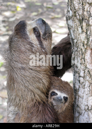 Sloth mother and baby close up . The Brown-throated Three-toed Sloth, Bradypus variegatus, is a species of sloth - Stock Photo