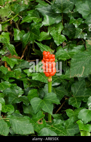 Lords and Ladies or Cuckoo Pint (Arum maculatum) Berries in autumn.  Devon England - Stock Photo