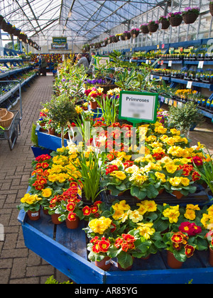 Spring flower plants for sale in a garden centre in February England UK EUAlwdaz2 - Stock Photo