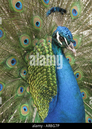 The India Blue Peacock. Pavo real. Male peacock, Pavo cristatus, pavo - Stock Photo