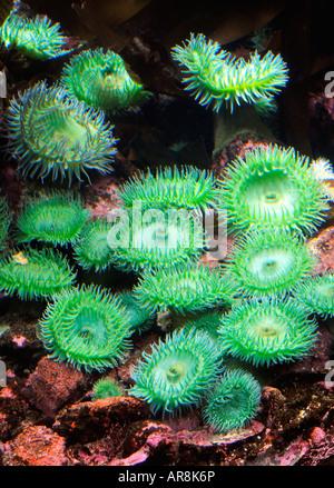 Giant green anemone - Stock Photo