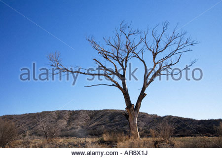 Dead Tree cottonwood outlined against blue sky - Stock Photo