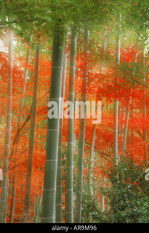 Bamboo forest painted in autumn colors at Arshiyama Park in Kyoto   Japan - Stock Photo
