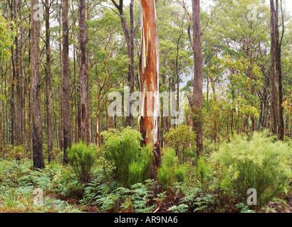 Swamp Gum (Eucalyptus regnans) in Tasmania, Australia - Stock Photo