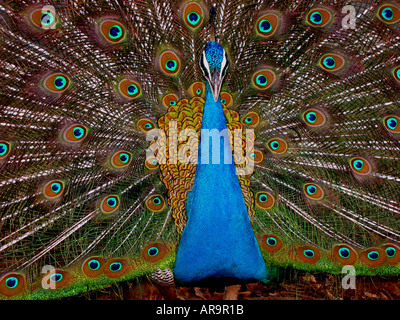 SBD72736 Dancing peacock showing blue neck and open colourful feathers - Stock Photo