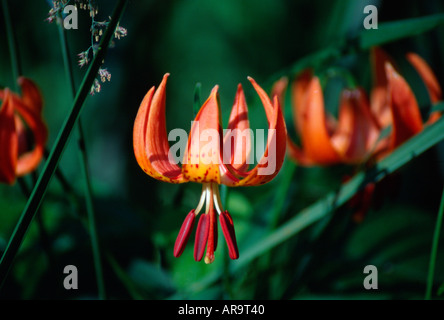 Turks Cap Lily also called Michigan Lily - Stock Photo