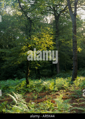 Hainault Forest SSSI, Ancient Semi Natural Woodland with Oak Tree, Essex, England - Stock Photo