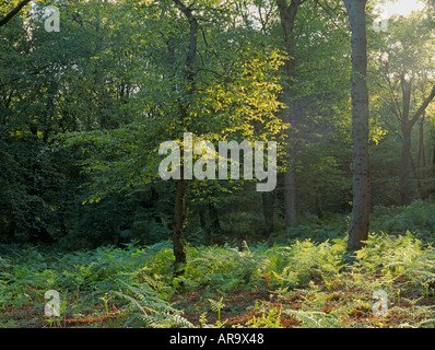 Hainault Forest SSSI, Ancient Semi Natural Woodland with Oak Trees, Essex, England - Stock Photo