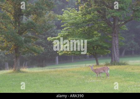 Pennsylvania Pocono Mountains Monroe County white tail deer - Stock Photo
