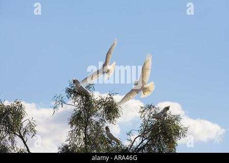 Australian Long-billed Corella in flight - Stock Photo