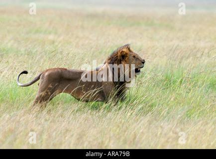 Male Lion in long grass Masai Mara National Park Kenya - Stock Photo