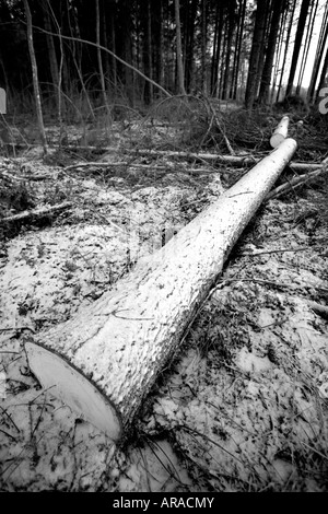 Black and white image of a felled and cut spruce  ( picea abies )  log in taiga forest , Finland Stock Photo